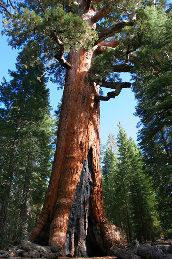 Fire damaged Sequoia in Yosemite National Park