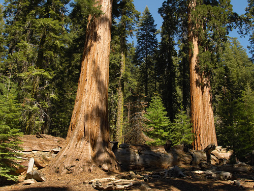 Yosemite Big Trees. The Sequoia in the Mariposa Grove.