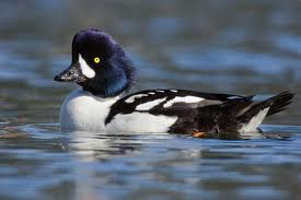 Barrow's Goldeneye in Yosemite