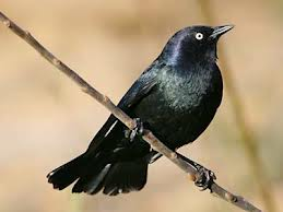 Brewer's Blackbird in Yosemite