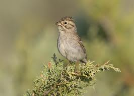 Brewer's Sparrow in Yosemite