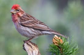 Cassin's Finch in Yosemite
