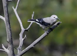 Clark's Nutcracker in Yosemite