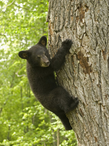 Little Bear Hanging On
