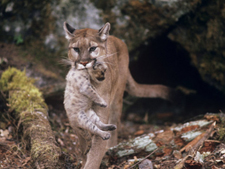 Mountain lion kittens being moved. AllPosters.com