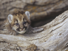 Very young mountain lion cub exploring. AllPosters.com