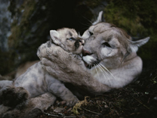 Mother mountain lion bathes one of her babies. AllPosters.com