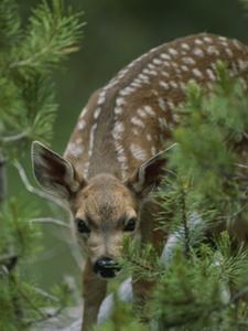 Yosemite Mule Deer Fawn Peeking