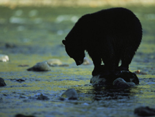 Yosemite Black Bear Dreaming-AllPosters.com
