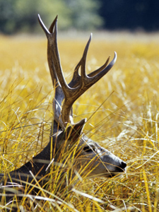 The King of The Woods. Yosemite Mule Deer Buck. AllPosters.com