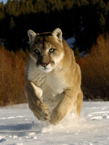 Yosemite Mountain Lion Photos For Sale-AllPosters.com