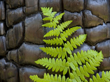 New fern growth on charred log in Yosemite. AllPosters.com