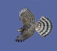 Cooper's Hawk in Yosemite
