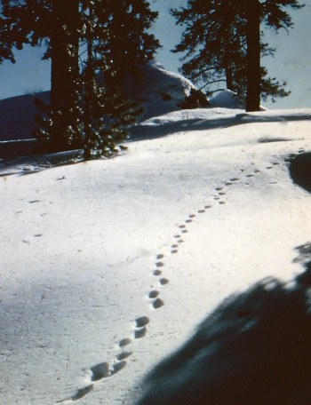 Yosemite Coyote tracks in snow. DHH photo.