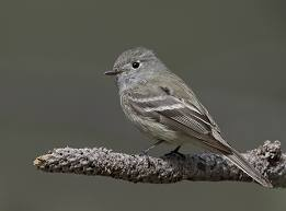 Hammond's Flycatcher in Yosemite
