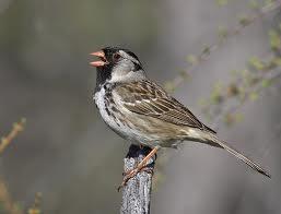 Harris' Sparrow in Yosemite
