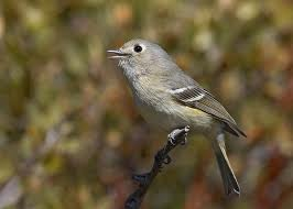 Hutton's Vireo in Yosemite