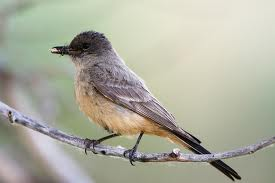 Say's Phoebe in Yosemite