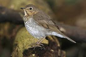 Swainson's Thrush in Yosemite