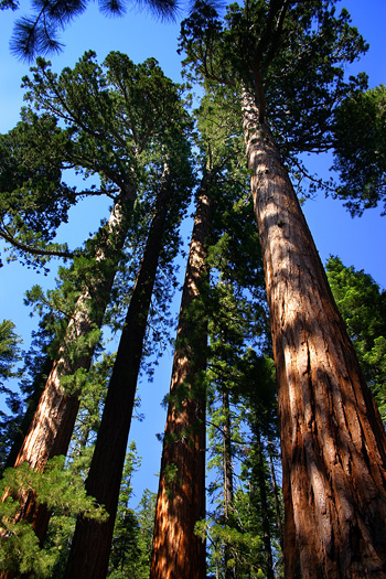 Yosemite's Giant Sequoia trees are truly stunning