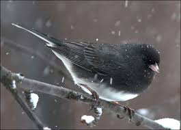 Thurber's Junco in Yosemite