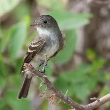 Traill's Flycatcher in Yosemite