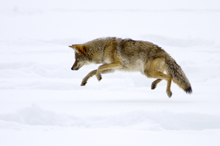 Yosemite's beautiful Mountain Coyote hunting