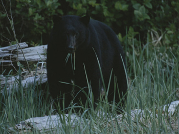 Yosemite Black Bear Munching Grass-AllPosters.com