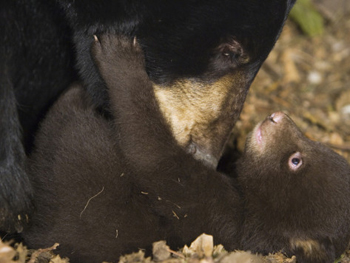 Mother Black Bear Bathes Her Baby. AllPosters.com