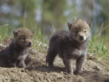 Yosemite Coyote Pups Outside Their Den. AllPosters.com