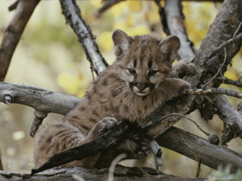 Little Yosemite Mountain Lion Cub Lounging