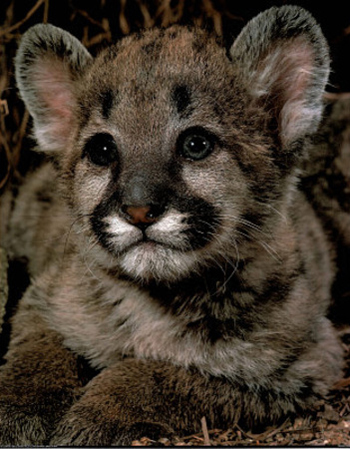 Yosemite Mountain Lion Kitten Face