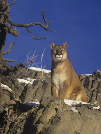Big Male Mountain Lion On The Look-out