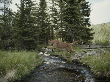 Mountain Lion Leaping-Yosemite-AllPosters.com