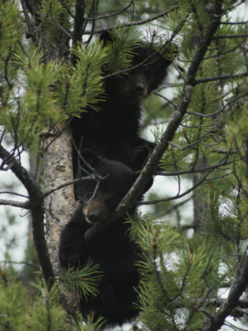 Bear Cubs Up The Tree. AllPosters.com