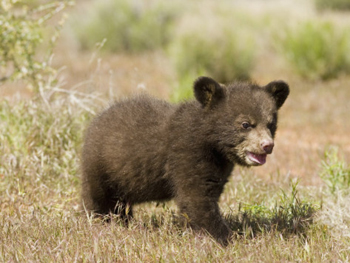 Little Bear Looking For Mama. AllPosters.com