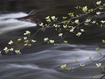 Yosemite Dogwood Trees And Water. AllPosters.com