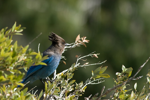 The Stellers Jay is Yosemites Official Greeter