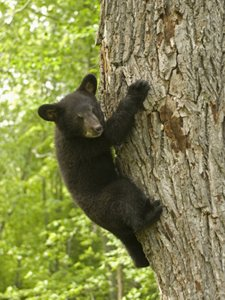 Little Bear Hanging On