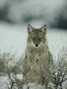 Yosemite Mountain Coyote Watching