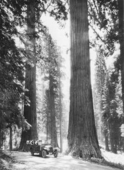 Big Oak Flat Road Yosemite Big Tree Tour. DH Hubbard collection.