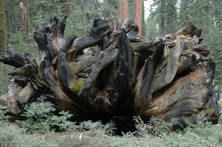 Giant Sequoia roots in the Maripose Grove in Wawona