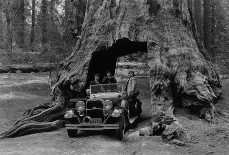 Yosemite's famous Wawona Tree. DHH Collection