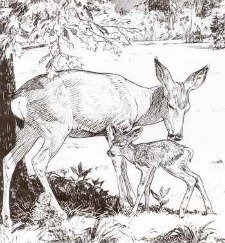 Mule Deer Doe and Fawn from Furry Friends of  Yosemite