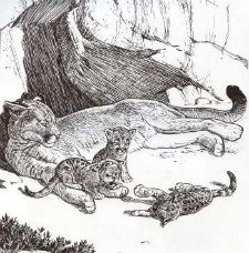 Yosemite's Mountain Lion mother and cubs. Bill Berry Pen and Ink. Furry Friends of Yosemite