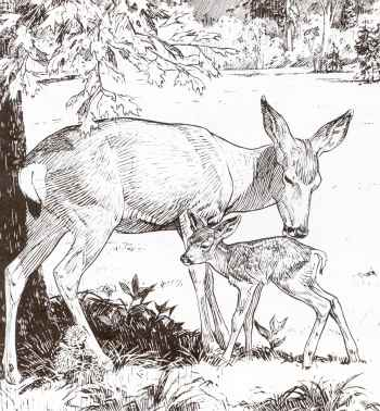 Yosemite's beautiful Mule Deer mother and fawn from