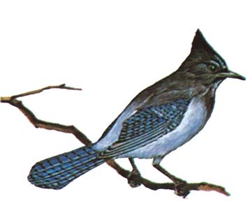 Yosemite's Official Greeter the Stellers Jay