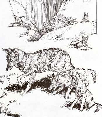Coyote of  Yosemite pen and ink drawing.Copyright Awani Press. From