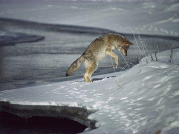 Yosemite Coyote Solo-Hunting-AllPosters.com